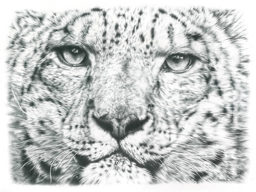 Pencil drawing of a snow leopard