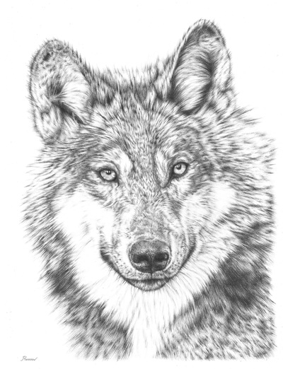 realistic pencil drawing of a wolf