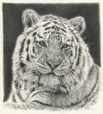 realistic pencil drawing of a tiger