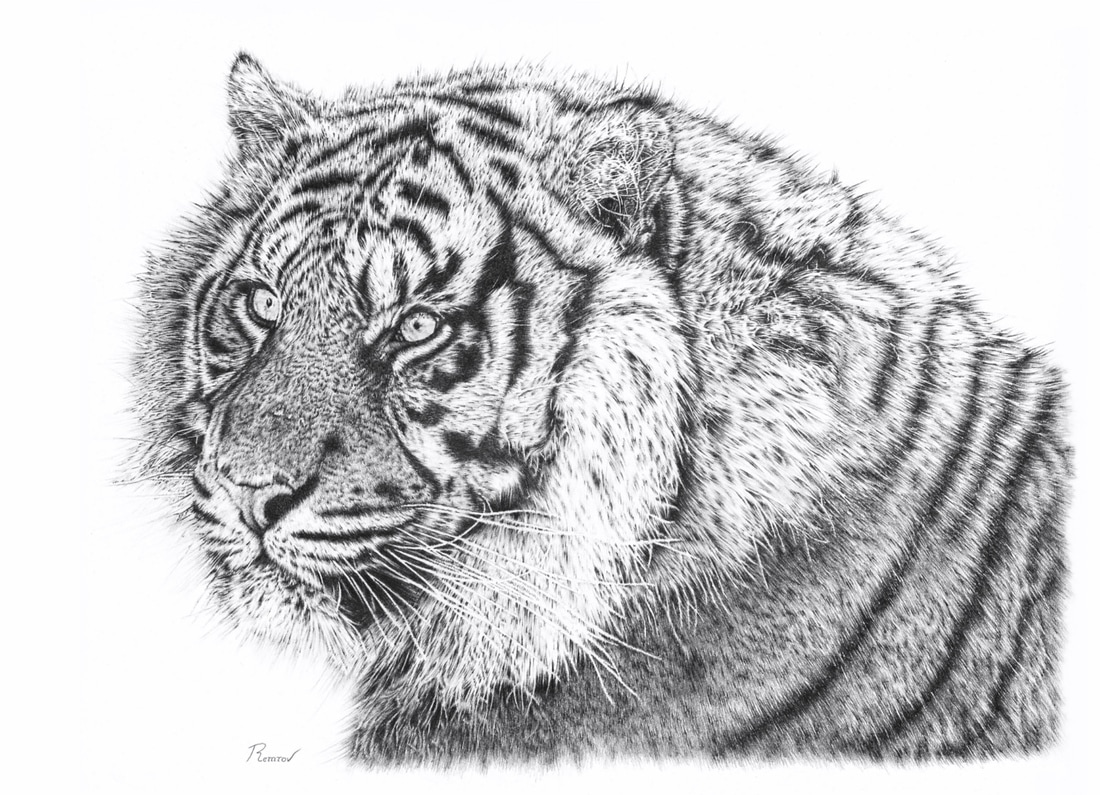 Bengal tiger pencil drawing original drawing and prints available