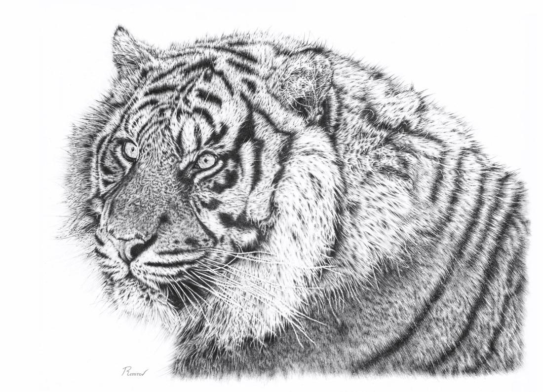 Bengal tiger pencil drawing original drawing and prints available